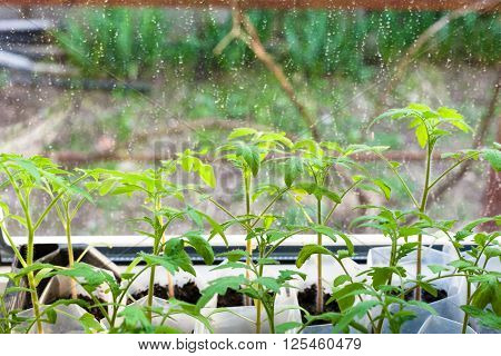 Young Sprouts Of Tomato Plant In Plastic Boxes