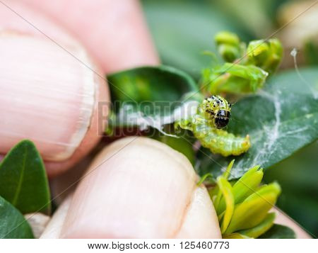 farmer removes caterpillar of insect pest (Cydalima perspectalis or the box tree moth) from boxwood leaves in garden