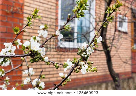 Branches Of Blossoming Cherry And Country House