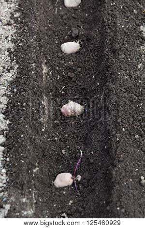 Seed Potatoes In Plowed Furrow
