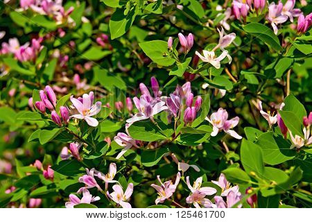 Pink flowers of honeysuckle on a background of bright green leaves