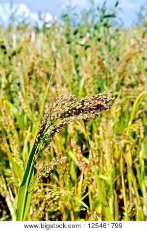 Paniculata ear of millet in the field against the sky