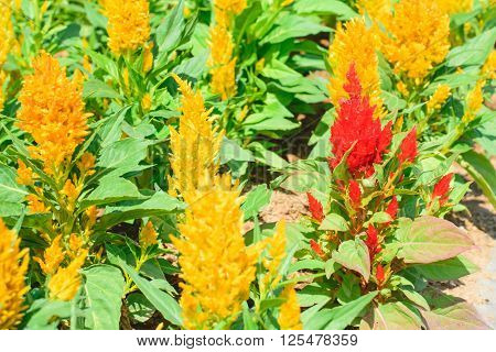 Cockscomb flower (Celosia Cristata) in a garden