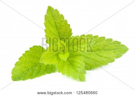 A branch of lemon balm (melissa officinalis) isolated on a white background