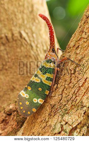 Fulgorid Planthoppers - Lanternflies on longan tree