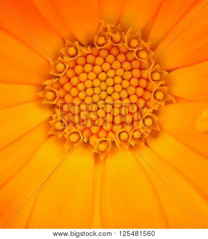 Calendula Officinalis (pot Marigold) Macro On White Background