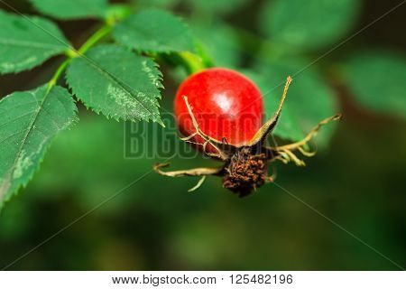 Rose hip with green in the garden