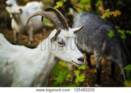 White horned goat grazing in the forest with the other goats