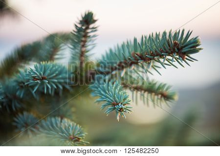 The branch of spruce and pine cone