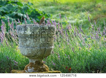Stone urn with Robin perched on the edge with lavender in the background English garden