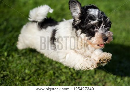 Happy little havanese puppy dog is running and jumping towards camera in the grass