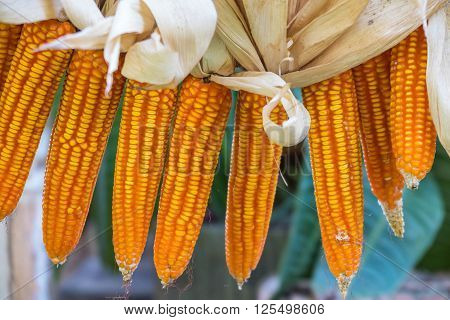 dried corn hang over background, Doi Tung, Thailand