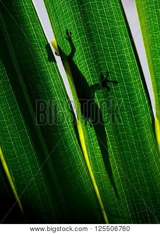 Silhouette of day gecko resting on green backlit leaf