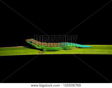 Single day gecko resting on palm tree leaf