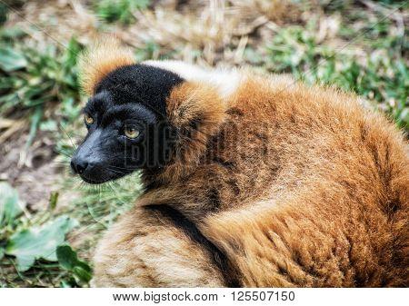 Red ruffed lemur - Varecia rubra portrait. Animal scene.