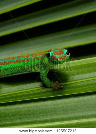 Mauritius day gecko dwelling in natural habitat ** Note: Visible grain at 100%, best at smaller sizes