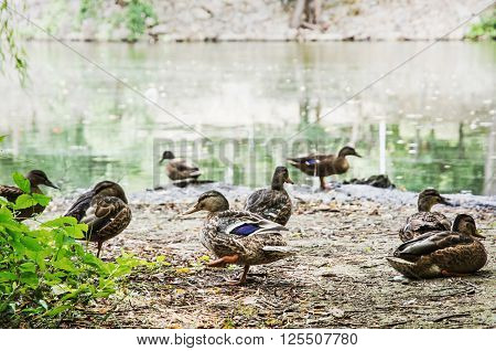 Group of wild mallard ducks on the lake shore. Animal scene.