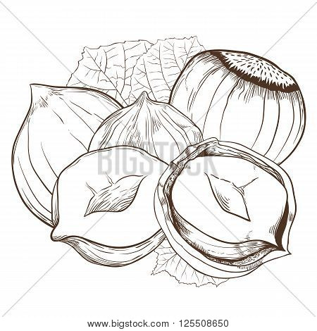 Hazelnut vector isolated on white background. Hazelnut seeds. Engraved vector illustration of leaves and nuts of Hazelnut. Hazelnut in vintage style.