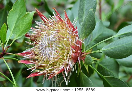 South African Plant Protea Cynaroides