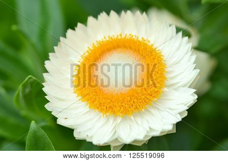 Sunny Side Up Shasta Daisy Blossom