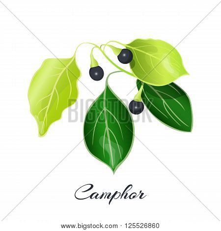 Flowering sage. Sage herb. Purple flowers. Vector illustration eps10