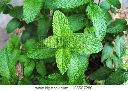 Mint (Mentha) plants growing in the garden