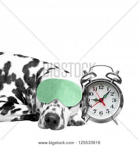 Dog sleeping next to an alarm clock to not oversleep