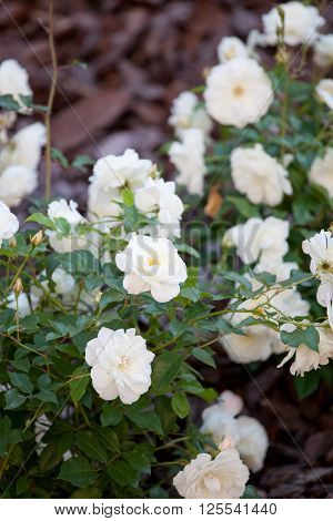 bush of white roses romantic place in garden ** Note: Visible grain at 100%, best at smaller sizes