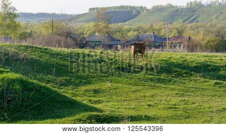 Country side sunrise view with a cow, Russia. cow pasture at sunrise.