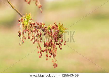Acer Negundo Leaves And Flowers
