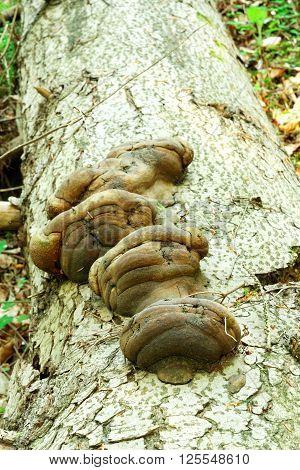 Basidiomycota mushroom growing on the dead tree