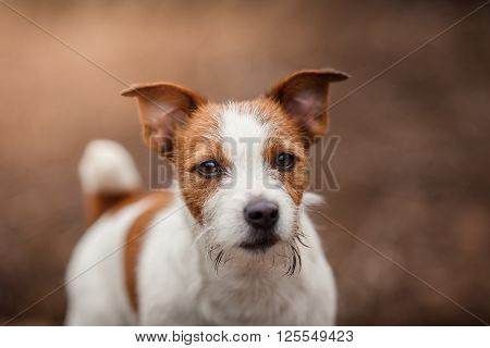 Dog Breed Jack Russell Terrier Walking In The Park