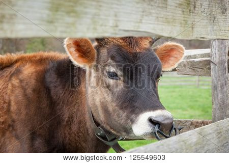 Brown Female Calf