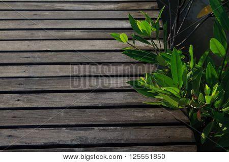 closeup old wooden bridge path with mangrove tree
