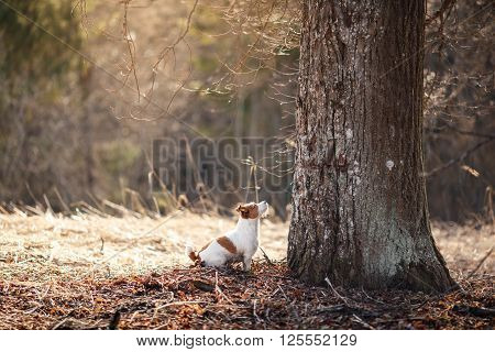 Dog Breed Jack Russell Terrier Walking In The Forest