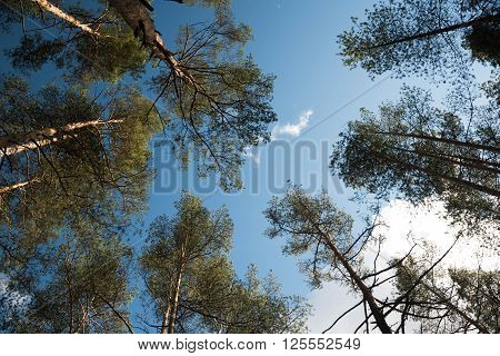Swaying Tops Of Bare Trees In Forest Against Blue Sky