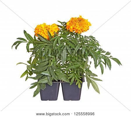 Two seedlings of marigolds (Tagetes species) with with orange flowers ready to be transplanted into a home garden isolated against a white background