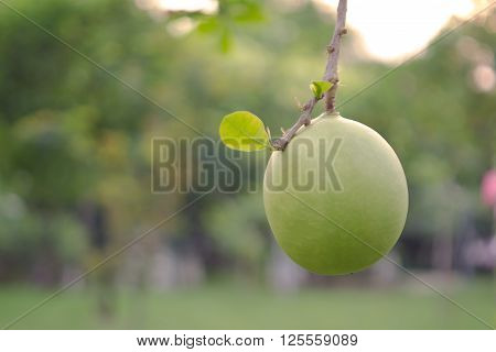 Bignoniaceae (Other names are Crescentia alanta HBK. bignonias herbaceous Jacaranda Tabebuia and Spathodea) fruit over natural blurred background