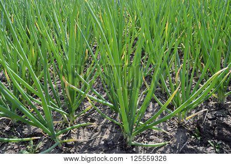 vernal harvest green onions on a land plot