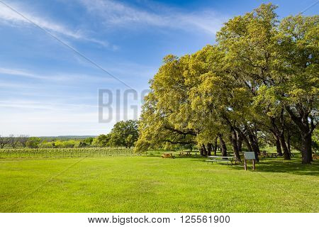 Central Texas vineyard featuring blue skies overhead and an adjacent oak tree--shaded picnic area
