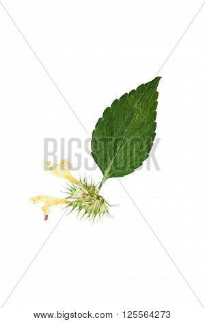 Pressed and dried delicate flower and leaf galeopsis speciosa. Isolated on white background