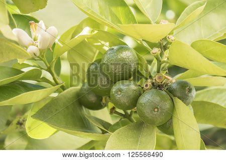 Unripe orange growing in the tree, sunny day