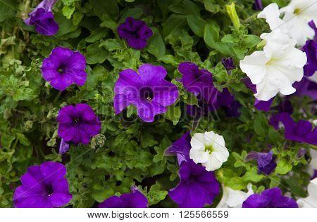 White and purple petunia flowers close up background. Growing petunias