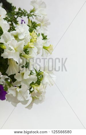 White petunia flowers close up on white background. Growing hanging petunias vertical copy space