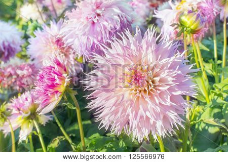 Close view of a white pink flower dahlias in autumn