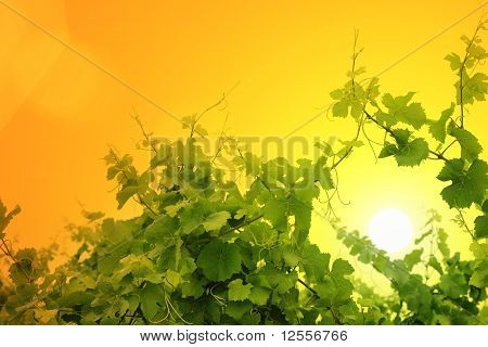 Grapevine Over Sunset Sky