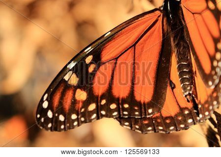 A close up of a Monarch butterfly's wing