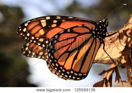 A close-up of a Monarch butterfly resting on a dry leaf