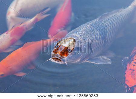 Koi Pond with colorful Japan Colorful Carps