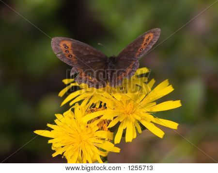 The Butterfly And A Dandelion